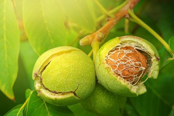 использование коры грецкого ореха против зубного камня