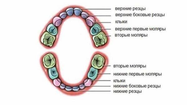 названия молочных зубов, последовательность их прорезывания