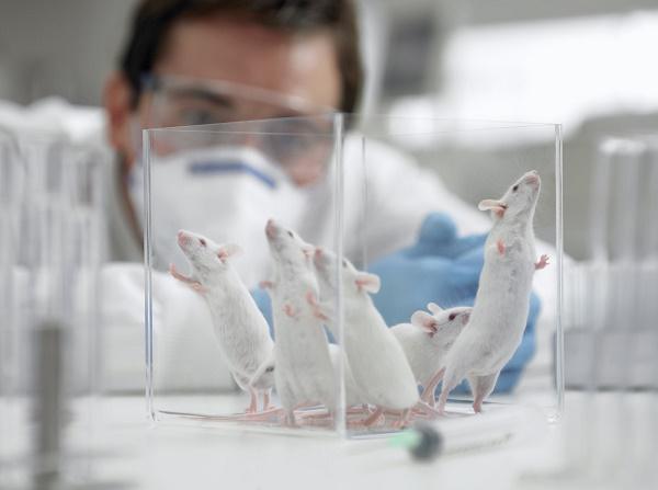 проведение опытов на крысах